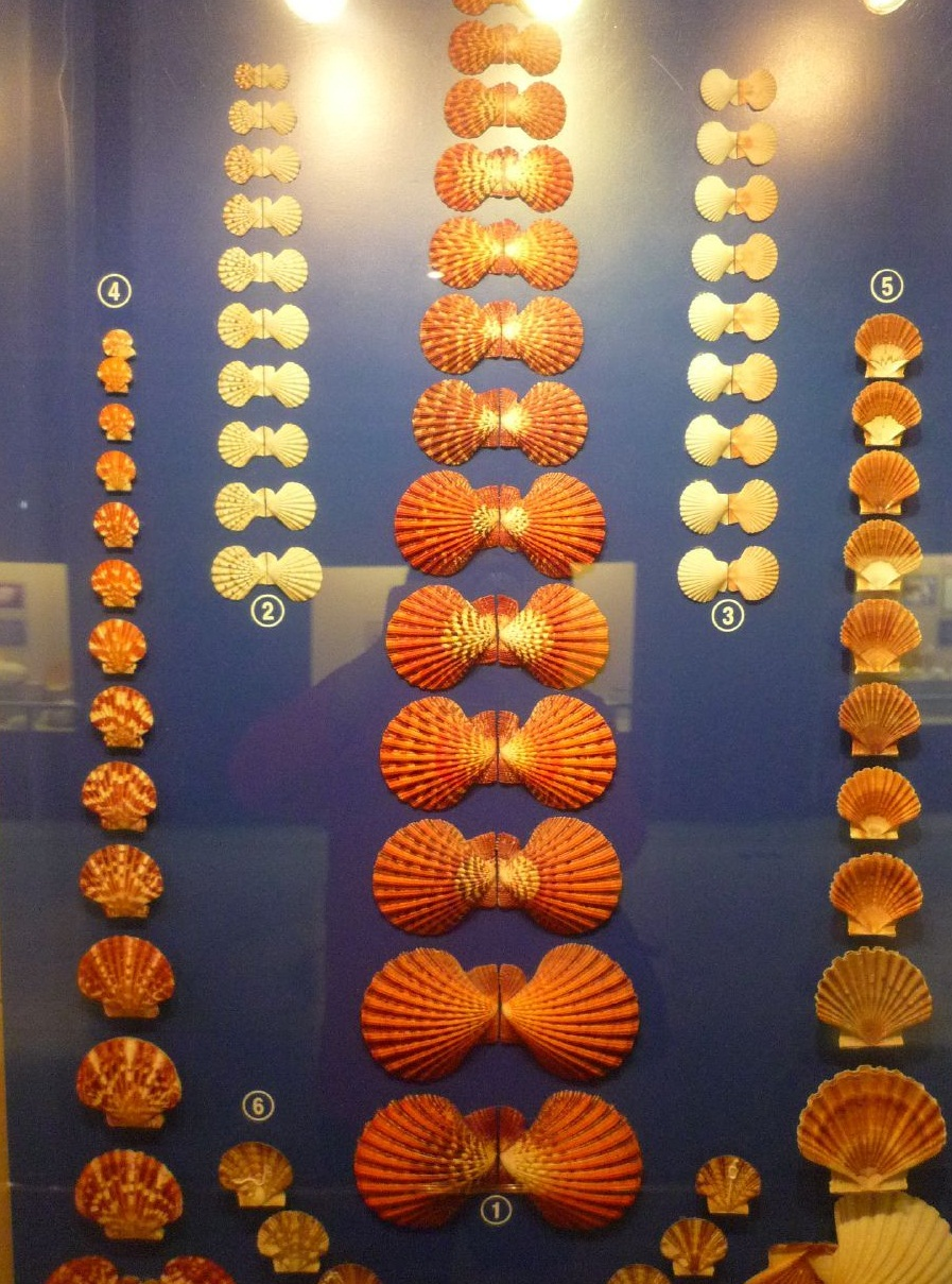 The Seashell Museum - Shell collection