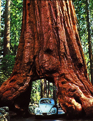 Yosemite National Park - Wawona tree