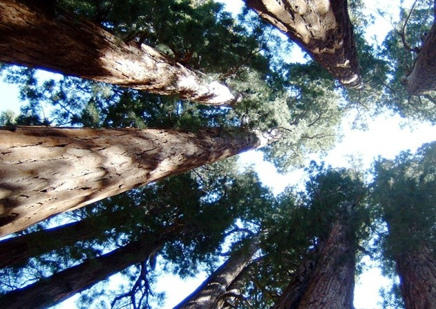 Sequoia National Park - Huge trees