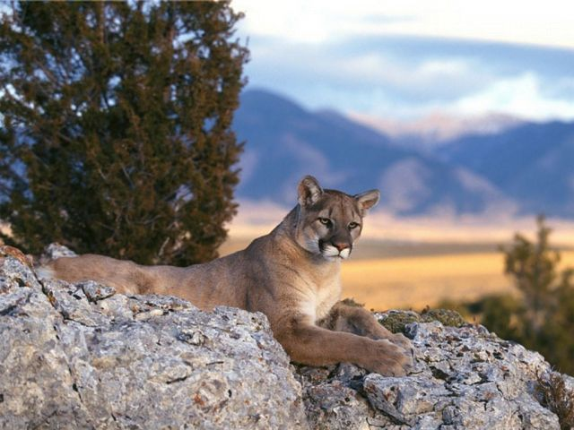 The Rockies - Mountain Lion