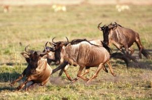 Wildebeest-amazing runner