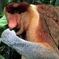 Image Proboscis Monkey - Top wierd animals worth traveling for