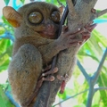 Image Philippine Tarsier - Top wierd animals worth traveling for