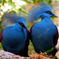 Image Victoria Crowned Pigeon - Top wierd animals worth traveling for