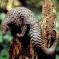 Image Tree Pangolin - Top wierd animals worth traveling for