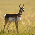 Pronghorns-interesting animals