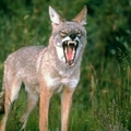 Coyotes-clever animals