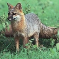 Gray fox-active animal